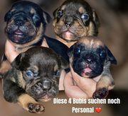alternativ Bulldoggen Welpen englisch französisch