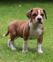 Beagle-Bulldogge Welpe