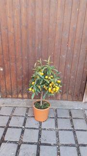 Mandarinenbaum mit Mandarinen dran vom