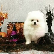 Exortic Pomeranian Miniature Spitz