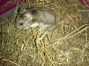 Hamster abzugeben