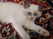 Bezaubernde Birma-Kitten-Babys suchen ein neues