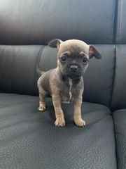 Zucker süße mini Chihuahua in