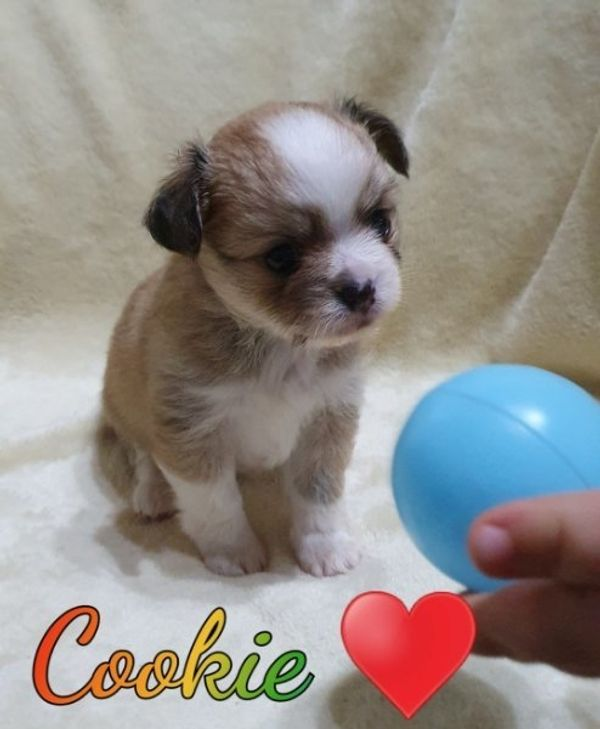 Chihuahua Babys