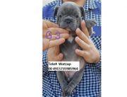 Französische Bulldog Welpen fdg fd