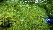 Riccia fluitans Teichlebermoos Schwimmpflanze