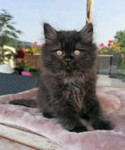 Hübsche Perser Kitten Katze Kätzchen
