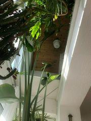 Strelitzie Paradiesvogelblume 4 Meter hoch