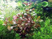 Rotgrüne Ludwigie Aquarienpflanzen Versand