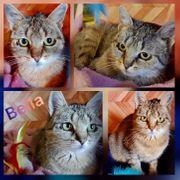 Wunderschöne Katze Bella 6 Jahre