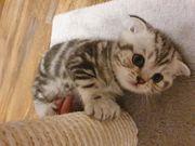 BKH Scottish Fold Kitten Kater