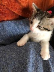babykatzen Katzen Ehk Perser mix