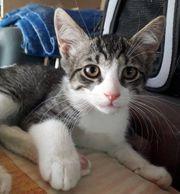 Sanfter Katzenbub Emil wartet auf