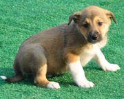 Zwergspitz-Beagle Mix Welpen abzugeben