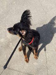 Russischer Toy Terrier langhaar