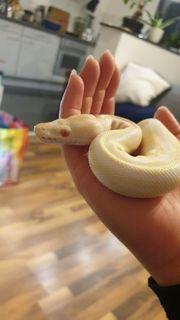 Königspython Albino 0 1