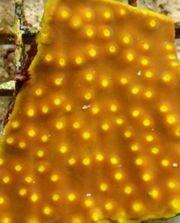 Korallen Paket mit 8 Korallen