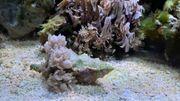Div Koralle Ableger Weichkoralle lps