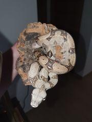 Schlange Boa constrictor Imperator NZ