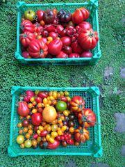 Tomaten- Paprika- Kürbispflänzchen