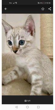 Ein siam Kätzchen