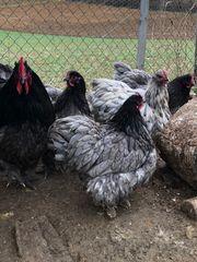 Orpington und Australorp Hühner in