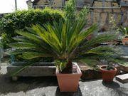 Großer Palmfarn Cycas