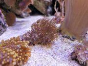 Meerwasser Ableger Weichkorallen Briareum Affenhaar
