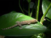 NZ Jungferngecko Lepidodactylus lugubris