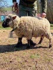 Shropshire Schaf