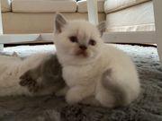 BKH- Scottish Fold Katzenbabys