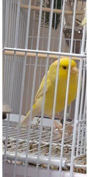 Kanarienvogel Gesangskanarien Wasserschleger x Timbrado