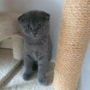 Britischkurzhaar Kitten