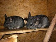 2 Chinchilla Weibchen mit Käfig
