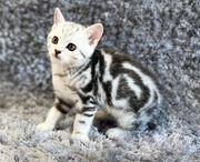BKH Kitten - Britisch Kurzhaar - mit