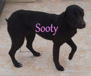 Hübsche Labrador-Mischlingshündin Sooty