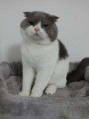 Verkaufe scottish fold Kater