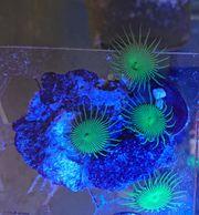 Korallen Meerwasser LPS Weichkorallen