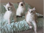 3 Rgadoll-Katzen suchen ein neues