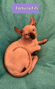 Elf Sphynx Stammbaum Mädchen Katze