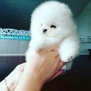 Zwergspitz Pomeranian Tiermarkt Tiere Kaufen Quoka De