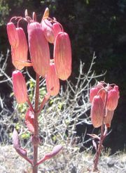 Göthepflanze Bryophyllum