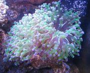 Euphyllia Kupferanemone Sunburst Meerwasser