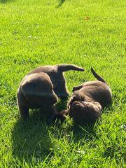 Labrador Welpen schokobraun silber Träger