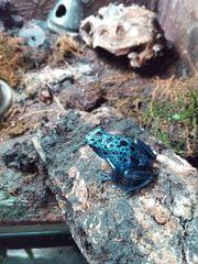 Dendrobates tinctorius azureus Pfeilgiftfrosch