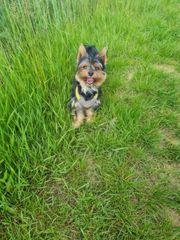 deckrüde yorkshire terrier mit Ahnentafel