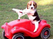 reinrassige Beagle Welpen suchen ab