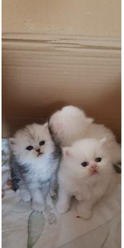 Süße Perserkatzenbabys