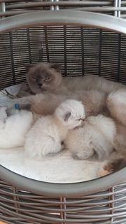 BKH babykatzen