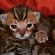 Wurfankündigung Bengal Kitten